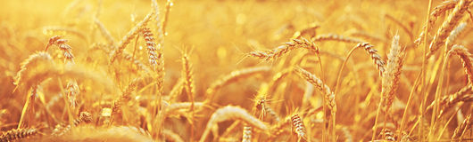 Wheat field. A natural background Royalty Free Stock Photography