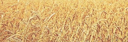 Wheat field. natural background stock photos