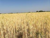 Wheat field nature stock photography