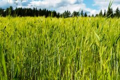Wheat field next to a Finnish farmhouse. The sky is blue and full of beautiful clouds Royalty Free Stock Image