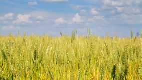 Wheat field with nice blue sky Royalty Free Stock Photography