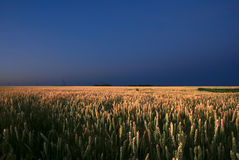 In the wheat field at the night. In the wheat field at the sunrise Royalty Free Stock Photos
