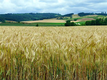 Wheat field in North Plains, Oregon Royalty Free Stock Photos