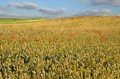 Wheat field royalty free stock photo