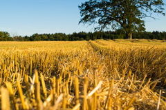 Wheat field in Norway harvest Stock Images