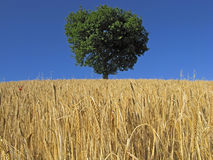 Wheat field and oak tree Royalty Free Stock Photo