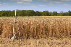 Wheat field with old rake Stock Photo