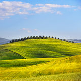 Wheat Field and olive trees uphill in summer. Tuscany, Italy Stock Images