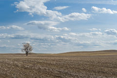 Wheat field with one bare tree. Of Canadian Prairies in Mankota, Saskatchewan Stock Image