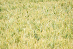 Wheat Field in Oregon Stock Image
