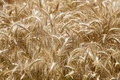 Wheat field. Organic food background stock photos
