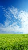 Wheat field over blue sky. Wheat field over beautiful blue sky 8 Royalty Free Stock Photography