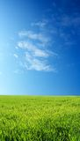 Wheat field over blue sky. Wheat field over beautiful blue sky 9 Stock Photos