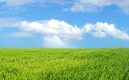 Wheat field over blue sky. Wheat field over beautiful blue sky XXL Royalty Free Stock Photography