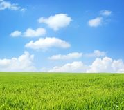Wheat field over blue sky. Wheat field over beautiful blue sky Royalty Free Stock Photography
