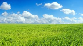 Wheat field over blue sky Stock Photo