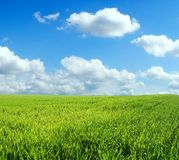 Wheat field over blue sky. Wheat field over beautiful blue sky Royalty Free Stock Photo