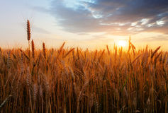 Wheat field over sunset Royalty Free Stock Photography