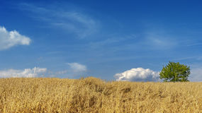 Wheat field panorama Royalty Free Stock Images