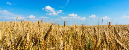 Wheat field panorama. Golden wheat fieldpanorama before harvest Royalty Free Stock Photos
