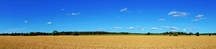 Wheat field panorama Stock Photo