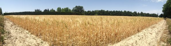 Wheat field panorama Royalty Free Stock Photography