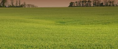 Wheat field.  Panoramic and web banner format. Royalty Free Stock Photos