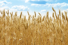 Wheat field. Part of field with ripe wheat on a bright summer day. With a blue sky on background Stock Photos