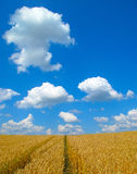 Wheat field with path. And clear blue sky in hot summer weather stock photos