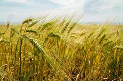 Wheat _1 Stock Photography