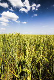 Wheat Field Photo. Green Field with Blue Sky Stock Image