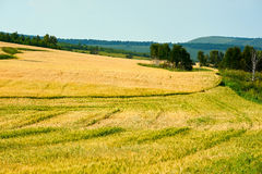 The wheat field Royalty Free Stock Images