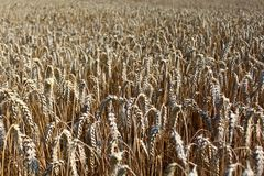 Wheat field. The picture shows a wheat field in the summer royalty free stock photography