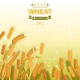 Wheat field. With place for your text Royalty Free Stock Photos