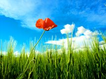 Wheat field with poppies Stock Photo