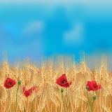 Wheat field with poppies and blue sky. Realistic vector wheat field in the harvesting time Stock Photo