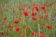 Wheat field with poppies and cornflowers Stock Image