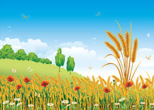 Wheat field. With poppies and daisies Stock Image