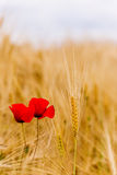 A wheat field with poppies flowering in early summer Royalty Free Stock Photos