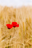 A wheat field with poppies flowering in early summer Stock Images