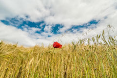 A wheat field with poppies flowering in early summer Stock Image