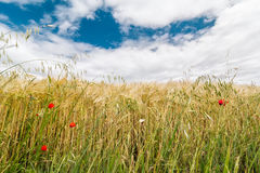 A wheat field with poppies flowering in early summer Stock Photography