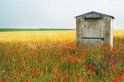 Wheat field with poppies on foreground Stock Image