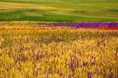 Wheat field with poppies and purple flowers Royalty Free Stock Photo