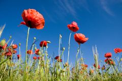 Wheat field and poppies in summer Stock Photography