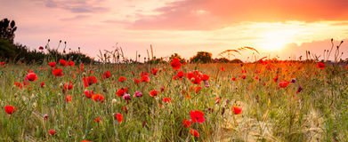 Wheat field with poppies. And sundown landscape. Beautiful nature summer vista with wild flowers stock photo