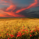 Wheat field and poppies at sunset Stock Photography