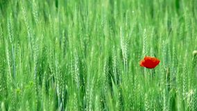 Wheat field with poppies stock footage