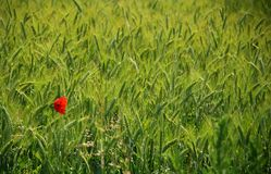 Wheat field and a poppy Stock Photography