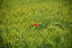Wheat field and a poppy Royalty Free Stock Images